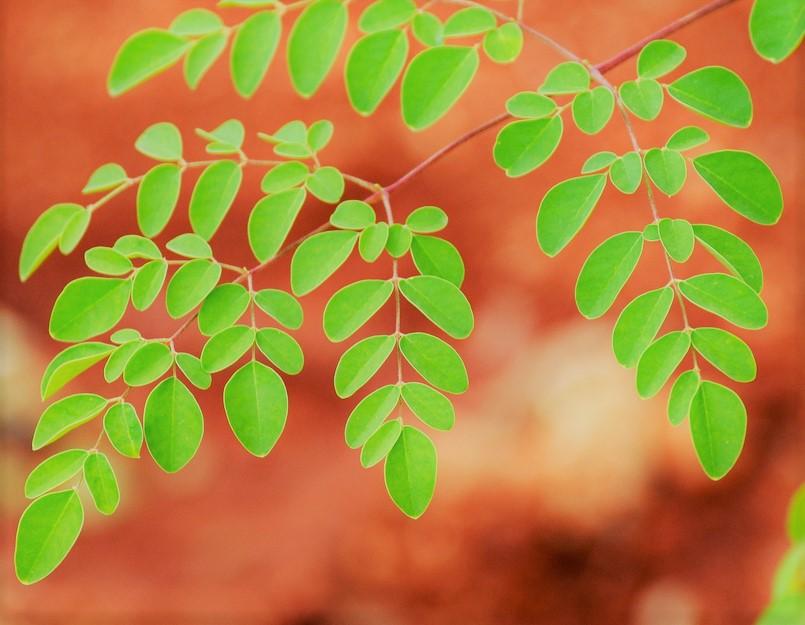 la moringa plante poudre aroma-zone