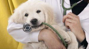 Maladies fréquentes chez le canin