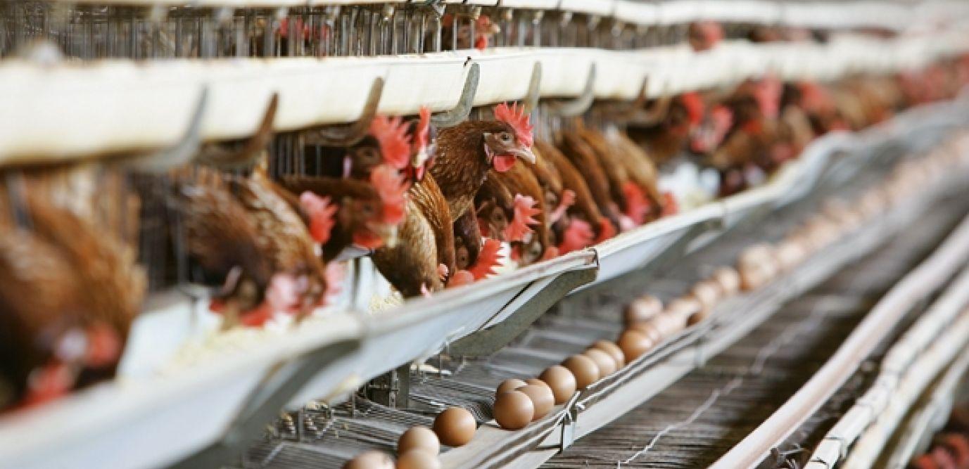 société d'élevage de poulet